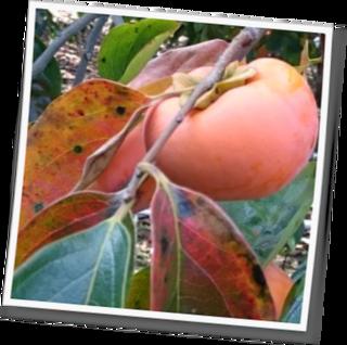 小田原のお客様   色鮮やかな柿